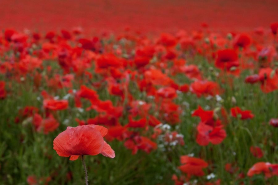 A+field+of+red+poppies.+%28Photo+Courtesy+of+Albarium%29.+