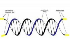 Telomeres, the strands at the end of DNA, are a key part in determining aging, Photo Courtesy of tasciences.com)