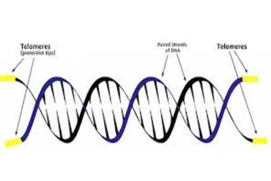 Telomeres%2C+the+strands+at+the+end+of+DNA%2C+are+a+key+part+in+determining+aging%2C+Photo+Courtesy+of+tasciences.com%29